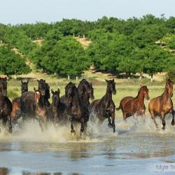 Stado klaczy andaluzyjskich PRE galopujących przez jezioro w Hiszpanii zdjęcia koni