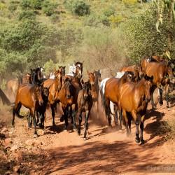 Stado klaczy andaluzyjskich na drodze w kurzu zdjęcia koni