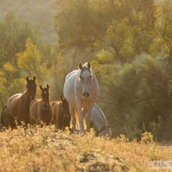 Stado andaluzów idące drogą o zachodzie słońca w Hiszpanii zdjęcia koni