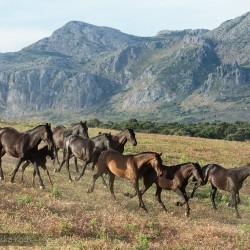 Stado klaczy PRE kłusujące wgórach w Hiszpanii zdjęcia koni