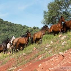 Stado klaczy andaluzyjskich w górach Hiszpanii