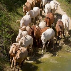Stado klaczy PRE kłusujące do wody latem w Hiszpanii zdjęcia koni