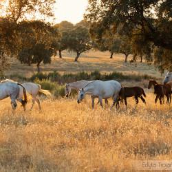 Stado klaczy andaluzyjskich ze źrebakami o zachodzie słońca