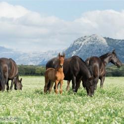 Stado klaczy andaluzyjskich pasące się w górach Hiszpanii