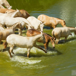 Stado klaczy andaluzyjskich kąpiących się wiosną w wodzie