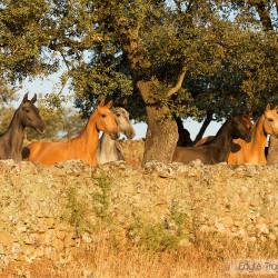 Klaczki andaluzyjskie stojące przy murku