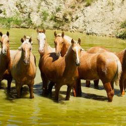 Ogierki andaluzyjskie stojące wiosną w wodzie