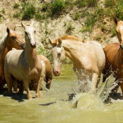 Ogierki andaluzyjskie bawiące się wiosną w wodzie