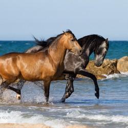 Dwa ogiery andaluzyjskie kłusujące w morzu w Hiszpanii zdjęcia koni