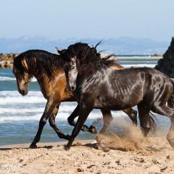 Ogiery andaluzyjskie PRE kłusujące wiosną po plaży nad morzem w Hiszpanii zdjęcia koni