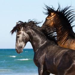 Portret ogierów andaluzyjskich walczących na plazy w Hiszpanii zdjęcia koni