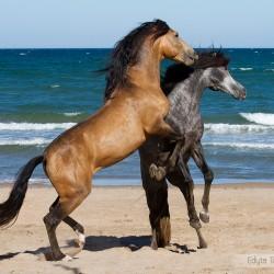 Ogiery andaluzyjskie walczące wiosną na plaży w Hiszpanii zdjęcia koni
