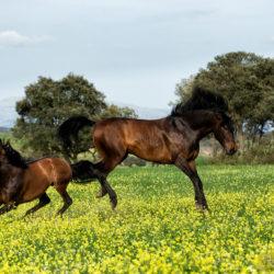 Ogiery andaluzyjskie walczące na ukwieconej łące