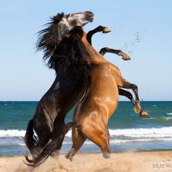 Ogiery PRE walczące nad morzem na plaży w Hiszpanii zdjęcia koni