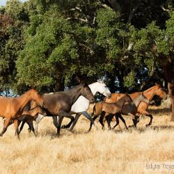 Stado klaczy andaluzyjskich ze źrebakami kłusujące po pastwisku