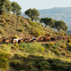 Stado koni andaluzyjskich idące drogą w górach Hiszpanii zdjęcia koni