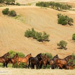 Stado klaczy andaluzyjskich pre wiosną w Hiszpanii zdjęcia koni
