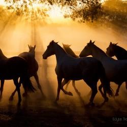 Stado klaczy andaluzyjskich pre kłusujących o zachodzie w kurzu zdjęcia koni