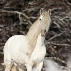 Portret siwego andaluza zimą na tle lasu