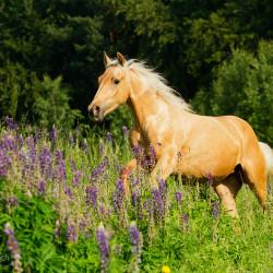 Klacz quarter horse palomino galopująca przez łubin