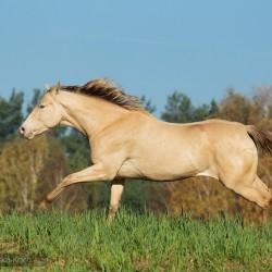 Szampańska klacz aqh galopująca jesienią po łące zdjęcia koni