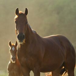 Klacz quarter horse ze źrebakiem w kurzu
