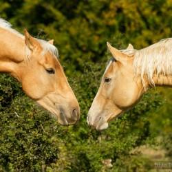 Wąchające się szampańskie klacze AQH zdjęcia koni