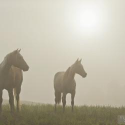 American Quarter Horses stojące w porannej mgle
