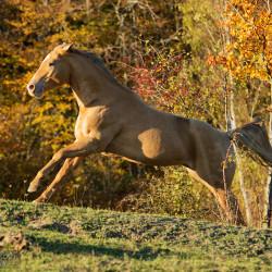 Szampański ogier quarter horse galopujący jesienią na tle lasu