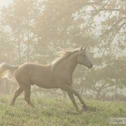 Szampański ogier AQH galopujący jesienią we mgle zdjęcia koni