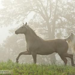 Szampański ogier AQH kłusujący jesienią we mgle o wschodzie słońca zdjęcia koni