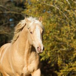 Portret szampańskiego ogiera AQH na tle żółtych brzóz zdjęcia koni