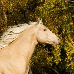 Portret szampańskiego ogiera AQH galopującego na tle złotych brzóz zdjęcia koni