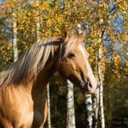 Portret szampańśkiego ogiera AQH na tle jesiennych złotych brzóz zdjęcia koni