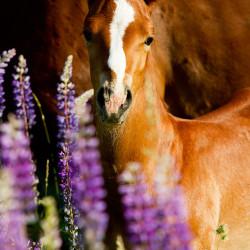 Portret źrebaka AQH w kwitnącym łubinie