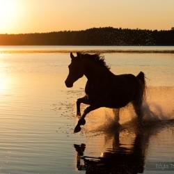 Wałach arabski galopujący po jeziorze o zachodzie słońca zdjęcia koni