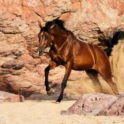 Wałach arabski galopujący wśród skał na plaży Maroka