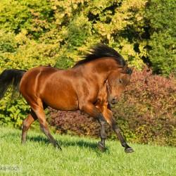 Arabian mare galloping in autumn scenery