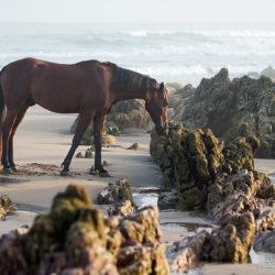 Arabian standing on the beach between rocks