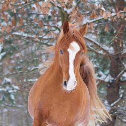 Winter portrait of Arabian chesnut stallion