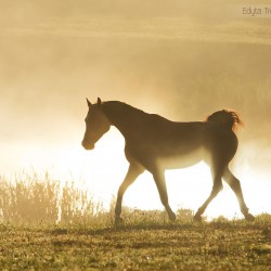 Arabian gelding trotting in a misty morning at sunrise in autumn scenery
