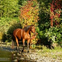 Arabian mare walking along a sream in autumn scenery