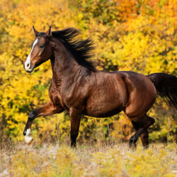Arabian mare trotting in autumn