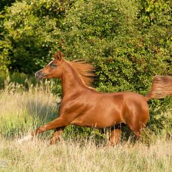 Arabian stallion galloping in autumn scenery