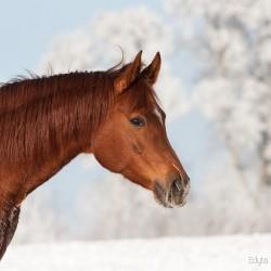 Portret kasztanowatej klaczy arabskiej zimą na tle szadzi zdjęcia koni