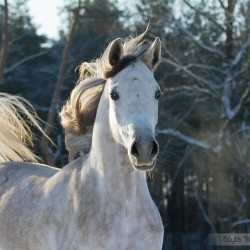 Siwa klacz arabska zimą na tle lasu zdjęcia koni