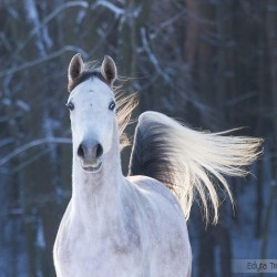 Zimowy portret siwej arabki na tle lasu zdjęcia koni