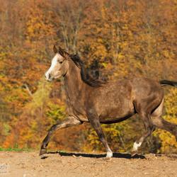 Arabian filly trotting in autumn scenery