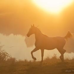 Arab kłusujący o świcie nad wodą we mgle jesienią zdjęcia koni