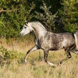 Grey Arabian stallion trotting against the forest